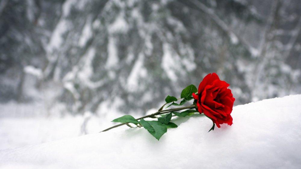 un-sentiment-roza-krasnaya-sneg.jpg