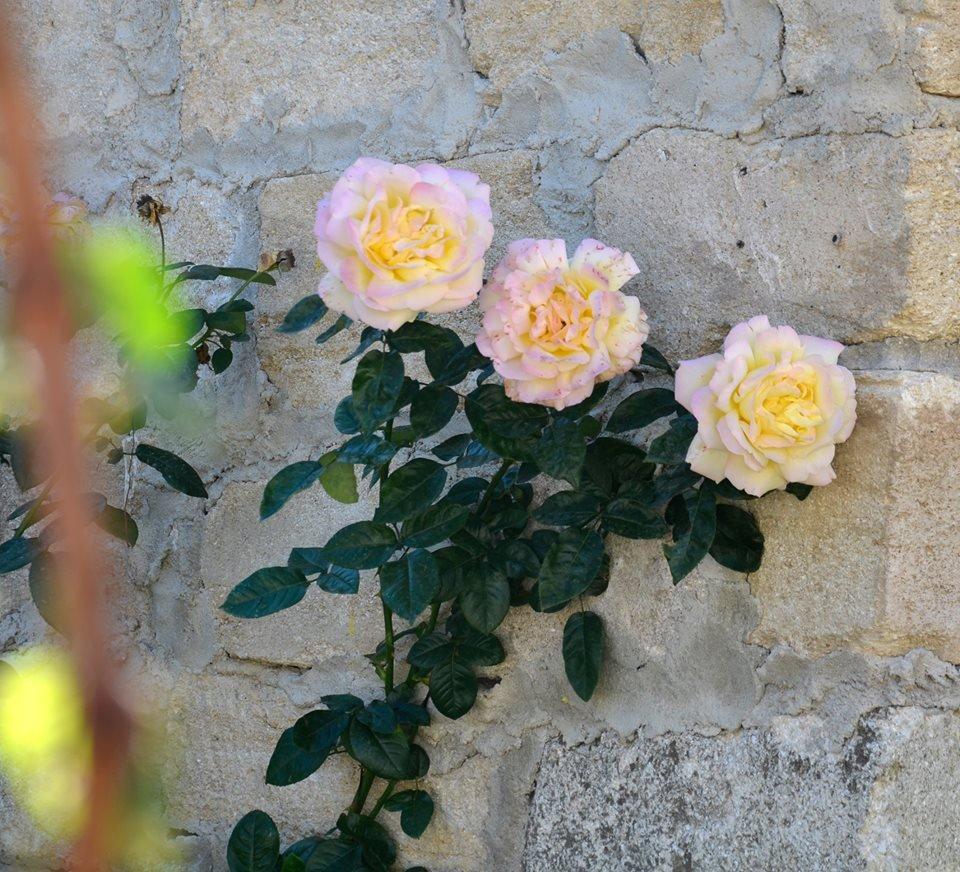 Роза сорта Gloria Dei - Алексей Куликов.jpg